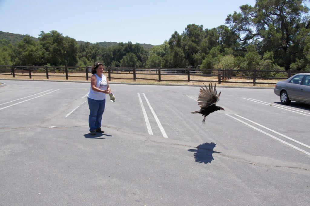 releasing bird after rehab