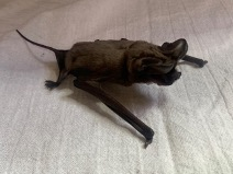 Big Free-tailed Bat